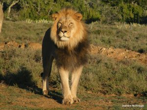 Sylvester The King Of The Karoo